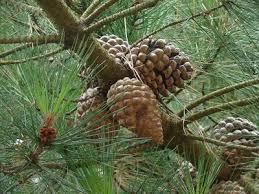 monterey pine